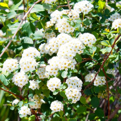 Snowball Bush Varieties