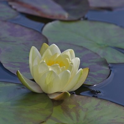 What Is the Habitat of Water Lilies?