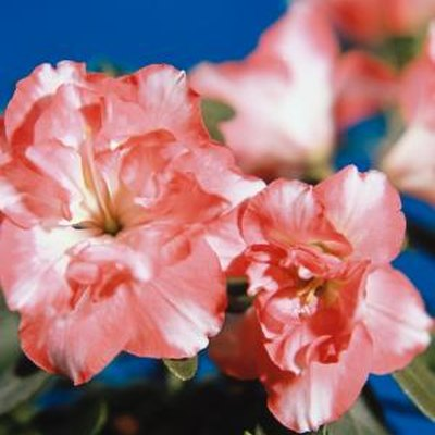 Are Azaleas an Annual or Perennial Plant?