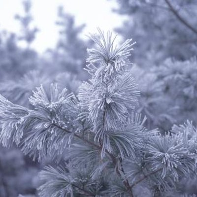 What Are the Adaptations of a Pine Tree?