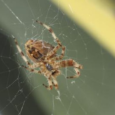 The Difference Between House Spiders & Brown Recluses