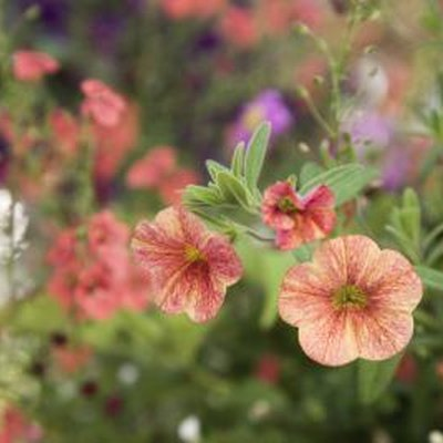 Are Petunias Perennials?