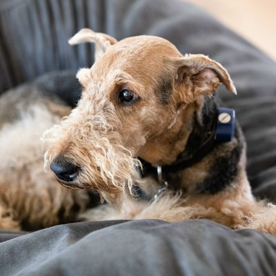 airedale dog on a beanbag