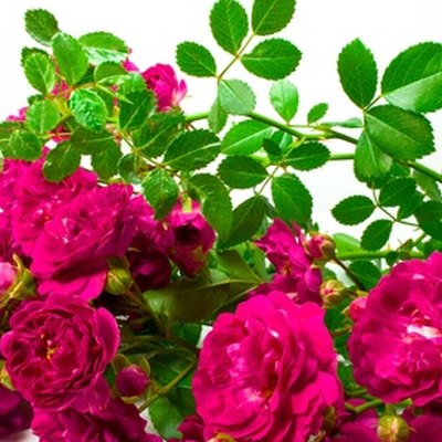 How to Take Care of Wild Rose Bushes