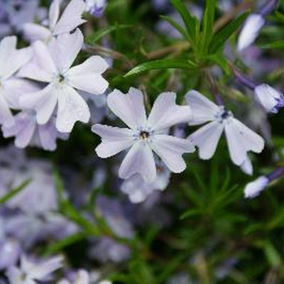 When to Trim Phlox After Blooming?