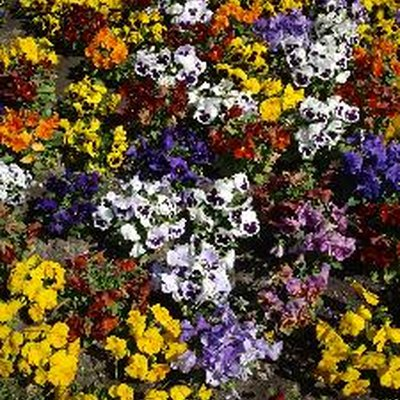 How Much Cold Can Pansies Take?