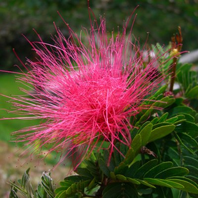 Soil Requirements for Mimosa Pudica