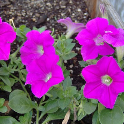 What Is Eating the Flowers on My Petunia Plants?