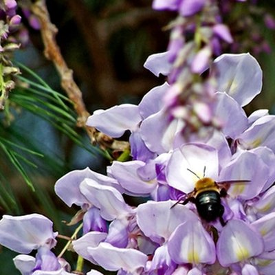 How to Grow Wisteria Vine