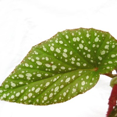 Why Do Begonia Leaves Fall Off Real Suddenly & Rot?