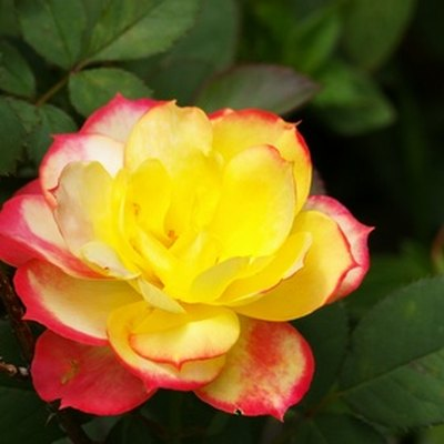 How to Care for Indoor Mini Roses