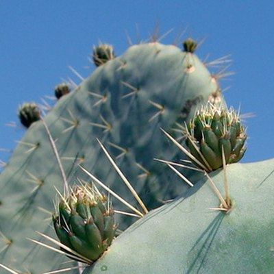 How to Find Out What Kind of Cactus You Have