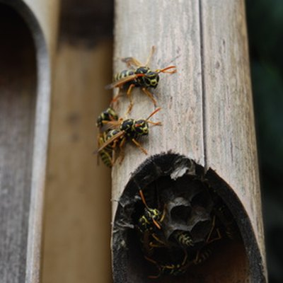 Differences Between Wasps and Mud Daubers