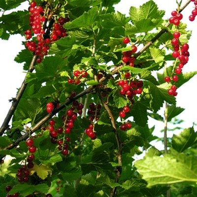 How to Identify Wild Currant Shrubs