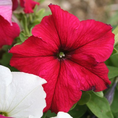 How Often Do I Water Petunias?