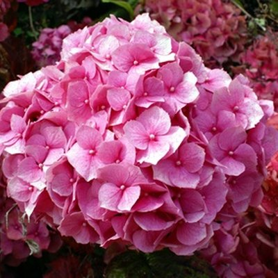 How to Grow Zone 9 Hydrangeas