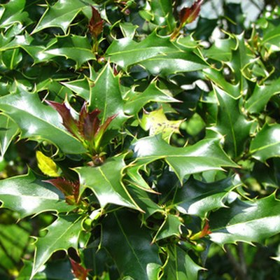 The Best Time to Prune Holly Bushes