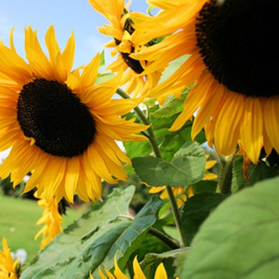 How to Grow My Own Black Oil Sunflower Seeds