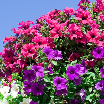 Why Are My Wave Petunias Drying Up & Dying?