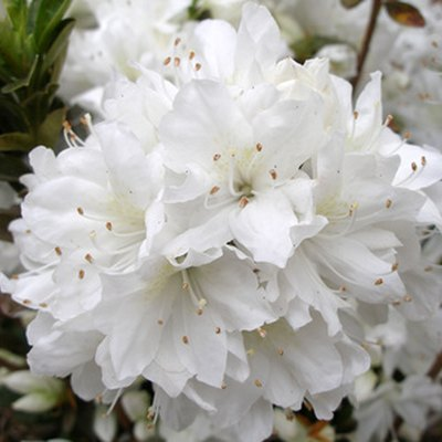 Azalea Flower Colors