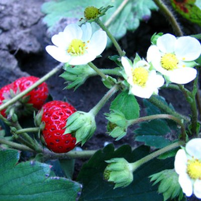 The Best Time to Plant Strawberries in Arkansas