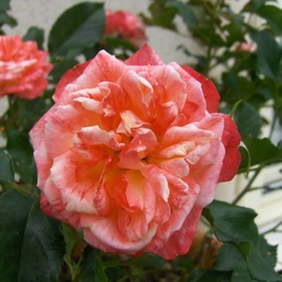 How to Get Rid of Brown Spots on Rose Leaves
