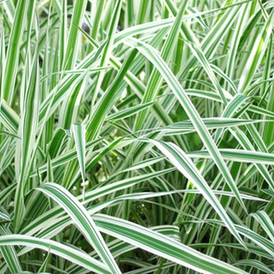 Variegated White & Green Grass