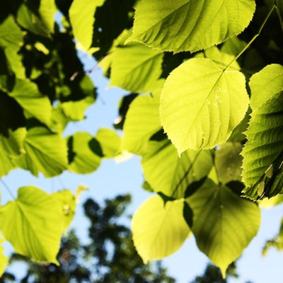 When to Prune the Linden Tree?