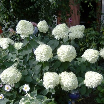 How to Prune Hydrangea Trees