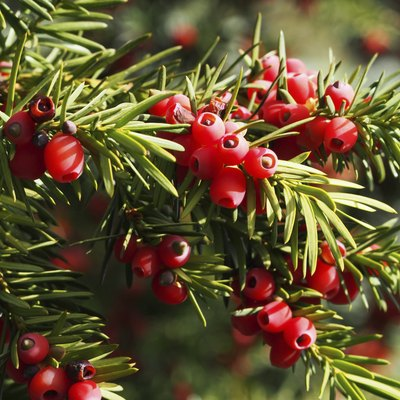 How to Care for a Yew Shrub
