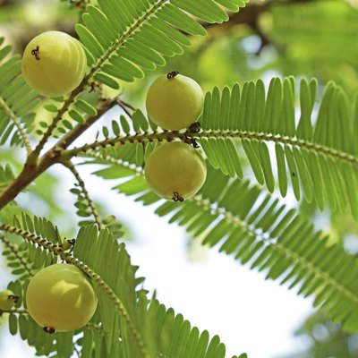 How to Grow Indian Gooseberry From Seed