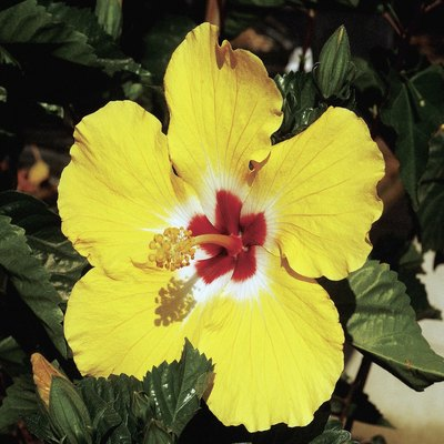 Can You Split an Outdoor Hibiscus Plant at the Root?