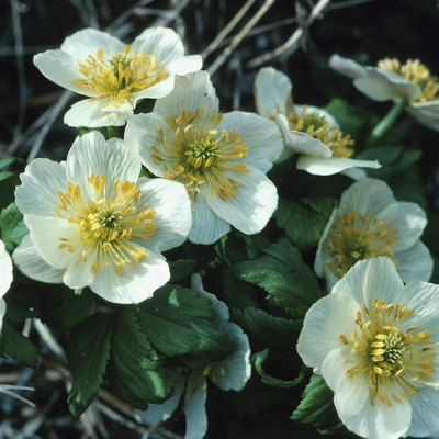 Are Japanese Anemones Poisonous?