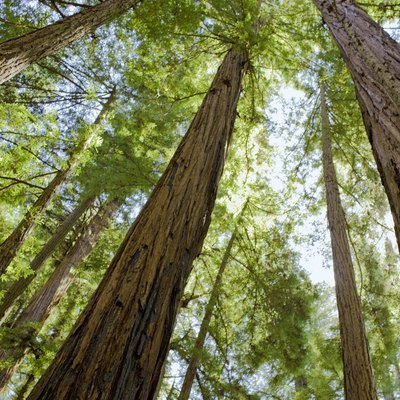 How to Grow Sequoias From Seeds