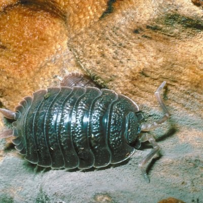 How to Get Rid of Pill Bugs in the House