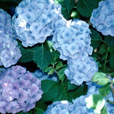 The Hydrangea Leaves Are Dry & Curling