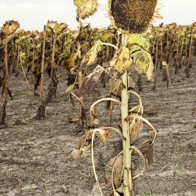 What to Do When a Sunflower Dies