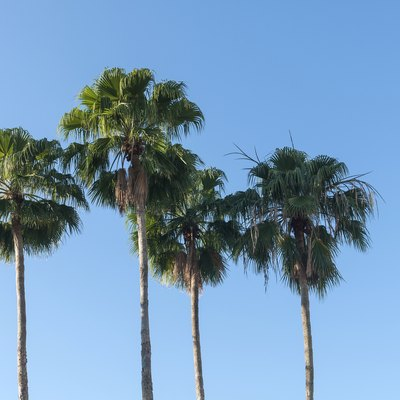 Mexican Fan Palm Tree Care