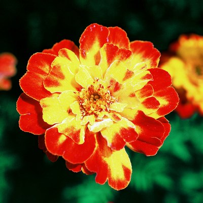 How to Care for Marigolds in Winter