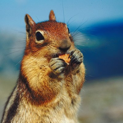 How to Get Rid of Chipmunks in Walls