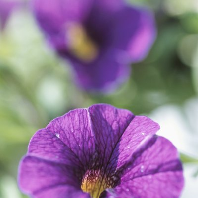 What Can I Spray on Petunias so Bugs Do Not Eat Them?
