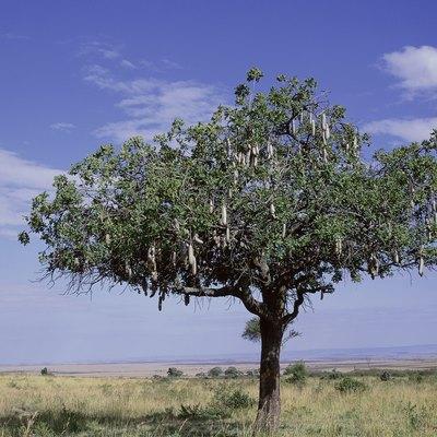 How to Kill Acacia Roots