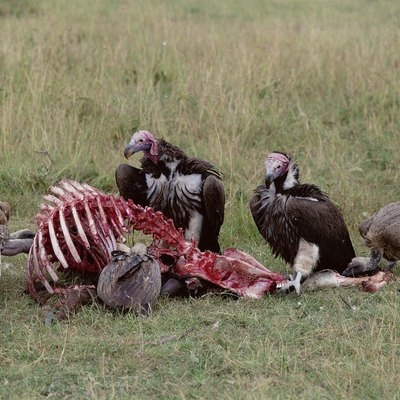 How to Get Rid of Vultures & Buzzards?