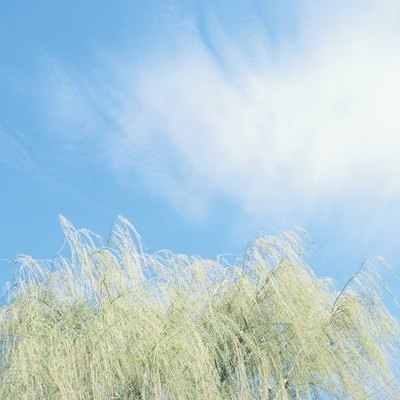 What Is the Difference Between Willow Trees & Weeping Willow Trees?