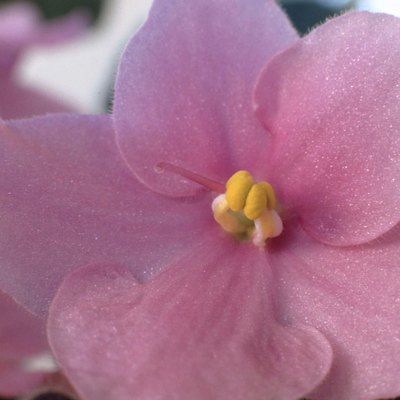 How to Trim Dead Blossoms From an African Violet