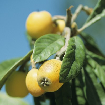 How to Grow Loquat Cuttings