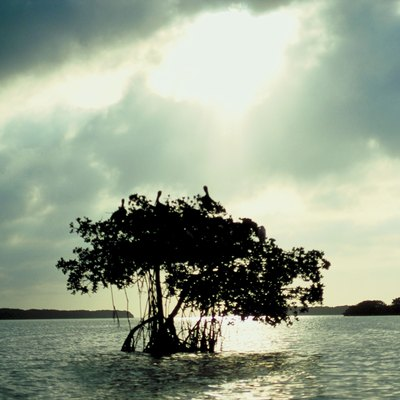 Trees That Grow in Saltwater
