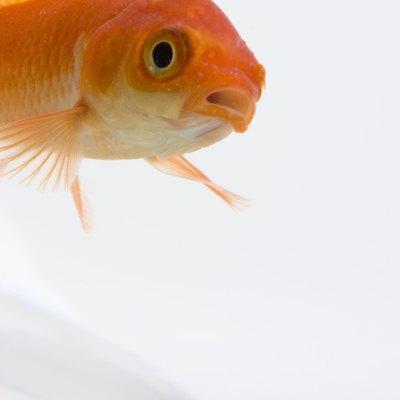 How to Care for the Nematanthus Gregarius Gold Fish Plant