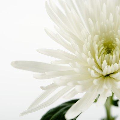 How to Dye Chrysanthemums