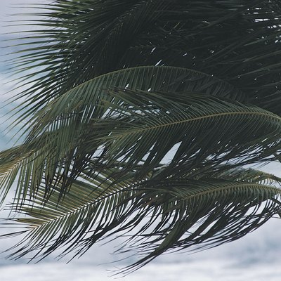 Windblown palm tree